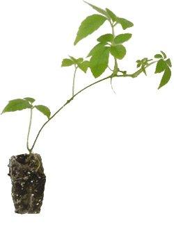 7 x Jiaogulan Pflanzen ' Kraut der Unsterblichkeit ' Gynostemma pentaphyllum Heilpflanze von Molcz *LA - Du und dein Garten