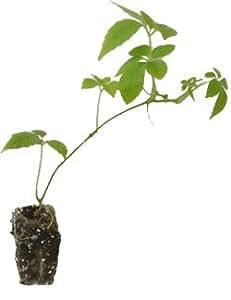 10 x plant de Jiaogulan - thé de l'immortalité - Gynostemma pentaphyllum