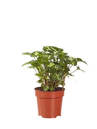 BOTANICLY | Zimmerpflanze - Purpurtute | Höhe: 20 cm | Syngonium Pixi