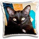 Cats - Domestic shorthair Black Cat 16x16 inch Pillow Case