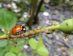 live-ladybirds-natural-pest-control-25
