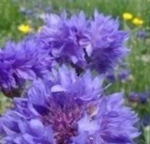 """Saatgut, Kornblume """"Blue Boy"""", 250 Samen von Nuts n' Cones bei Du und dein Garten"""