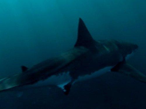 Abenteuer Ozean, Unter Weißen Haien - Spannweite