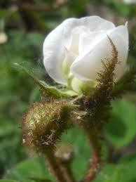 Moosrose`Blanche Moreau´