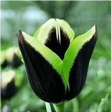 Toutes sortes de bulbes de tulipes belles fleurs de jardin sont appropriés pour les plantes en pot (il n'est pas une graine de tulipe) ampoules 2PC 9