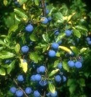 Schlehdorn, Schlehe/Prunus spinosa