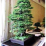 PLAT FIRM GRAINES DE GERMINATION: 60 Pack: California Coast Redwood Baumsamen Sequoia Bonsai Höchstes in der Welt!