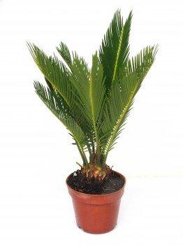 Cycas Revoluta 55 cm +/-