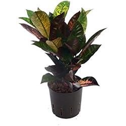 Kroton, Croton variegatum Iceton, Zimmerpflanze in Hydrokultur, 13/12er Kulturtopf, 25 - 30 cm
