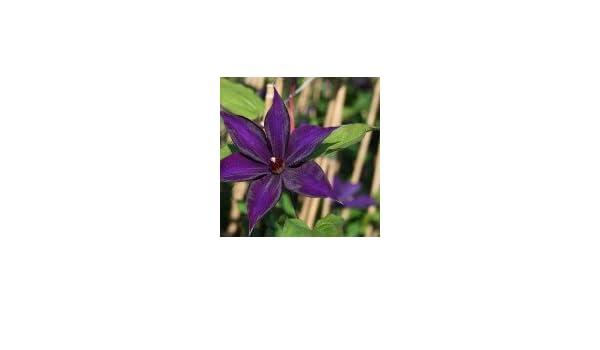 Clematis \'Guiding Star\' - Clematis \'Guiding Star\': Amazon.de: Garten
