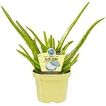 Suchergebnis Auf Amazonde Für Aloe Vera Pflanze Bio