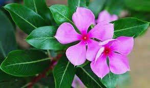 MG Naturals Vinca Rosea/Catharanthus Roseus-Nithya Kalyani-Live Plant