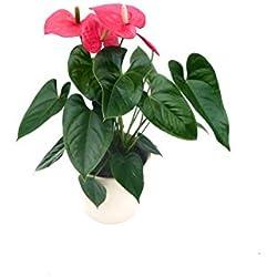 EVRGREEN | Zimmerpflanze Anthurie in Hydrokultur mit cemefarbenem Topf als Set | Flamingoblume | Anthurium andreanum 'Turenza' mittelrot