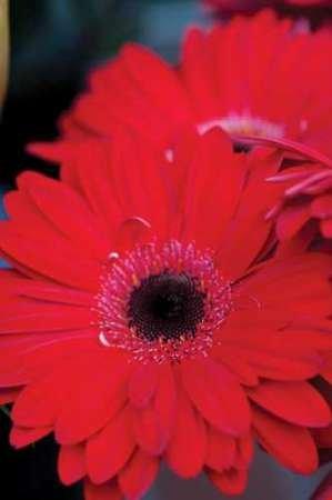 Red Gerbera Daisies II Von Berzel, Erin Kunstdruck auf Leinwand