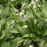Just Seed Bärlauch, Wilder Knoblauch, Allium Ursinum, Britische Wildpflanze, essbar, 500 Samen