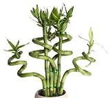sellify 20 PC / bolso, semillas de bambú de la suerte, balcón en maceta, la siembra es simple, en ciernes tasa de 95%, la absorción de la radiación, colores mezclados