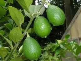 citrus-lime-aurantifolia