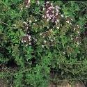 JustSeed Sand-Thymian Englisch Winter Thymus vulgaris 1000 Samen Wirtschaft Pack