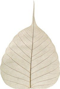 skeleton-bodhi-leaves-approx-5-8cm-natural-undyed-x-25
