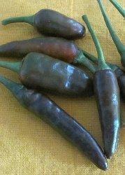 Tropica - Paprika / Chilli - Hot Chocolate (Capsicum annum) - 10 Grains - Chilli / Pepperoni