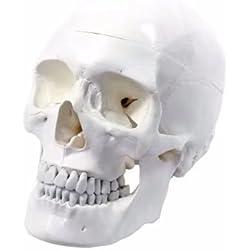 BoNew-Oral - Calavera anatómica de alta calidad, diseño clásico, 3 piezas