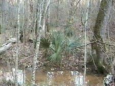Farmerly 5 Seeds of Sabal Minor Arkansas Hardy Dwarf Palmetto Seeds