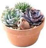 Piatto con 3Echeveria-17cm, colore: terracotta