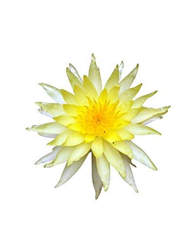 Seerosen Samen (Für Teich und Aquarium) 10 frische Samen + Anzuchtanleitung ***Freie Farb-Sorten Auswahl*** (Seerose Gelbblühend) (Tropische Seerosen)
