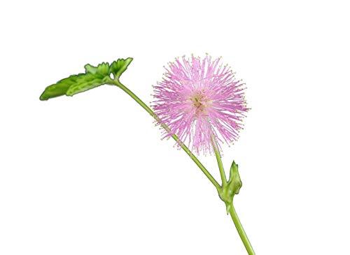 Echte Mimose (Mimosa pudica) - 200 Samen (Spannende Pflanze für Kinder)