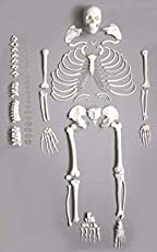 GEN-DOC Disarticulated Human Skeleton Life Sized - 23 Intervertebral Discs, 3 Part Skull with Movable Jaw, Left Hand and Foot Jointed, 66-inch