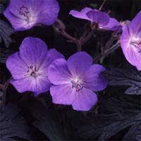 GERANIUM PRATENSE 'PURPLE-HAZE' SEEDS
