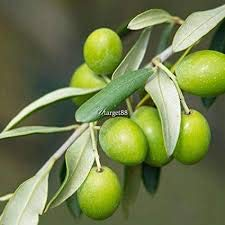Portal Cool 200X Olive Tree Olea Europaea plantes ornementales Graines Jardin Jardin Bonsai Showy Kz