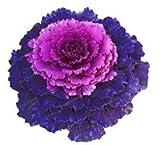 Pinkdose Grünkohl Bonsa Blüte Zierkohl Bonsa Pflanze Blüte In Bonsai Oder Topf Gartendekoration Blume Gartenpflanze 100 Teile/beutel: 8