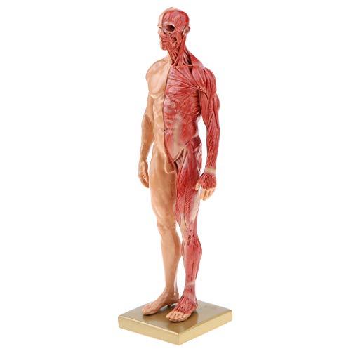 Fenteer 4D Anatomisches Modell des Menschliche Muskeln Muskelsystem Anatomiemodell als Lernmodell oder Lehrmittel ( Weibliche/ Männliche ) - Männlich