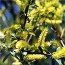 Bachblüten Original Willow 20 ml (20 ML)