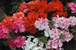 Fiore - Kings Seeds - Confezione Multicolore - Geranio - Inspire Mix F1