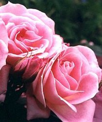 apuldram-roses-carefree-days-patio-rose-potted