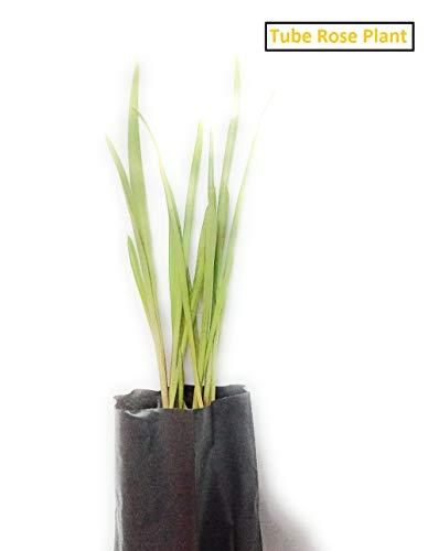 Zooqa Farm   Rajnighandha Flower Tuberose 1 Live Plant   100% Safe Delivery