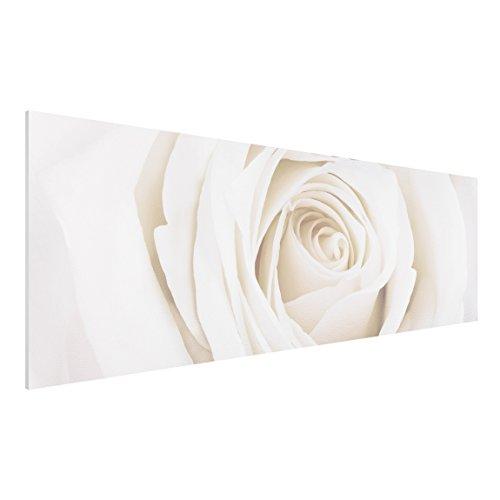 Apalis FOREX Fine Art Print-Wandbild Pretty White Rose-Panorama breit, Maße HxB: 30cm x 90cm