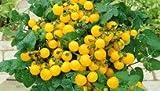 Balkontomate -Gelbe Kirsche- 10 Samen **Top Sorte**