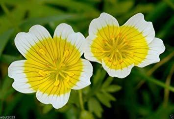 Meadowfoam Seed (Virtue 500 Poached Egg Plant,flowers Seeds - Douglas' Meadowfoam,Limnanthes douglasii)