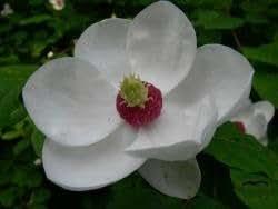 Tulpenmagnolie Sommermagnolie/Magnolia sieboldii