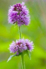 Just Seed Wild Flower Mentha aquatica Mint 400 Samen