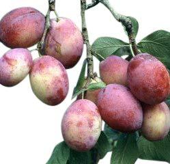 Olive Grove Plum Tree (Prunus Domestica) - Victoria Dwarf Pixie Stock - 5' Tall Tree