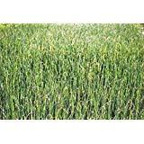 PLAT FIRM GERMINATIONSAMEN: Alfalfasprossen, HEIRLOOM, ORGANIC, NON-GMO, 1000 ALFALFA Sprossensamen