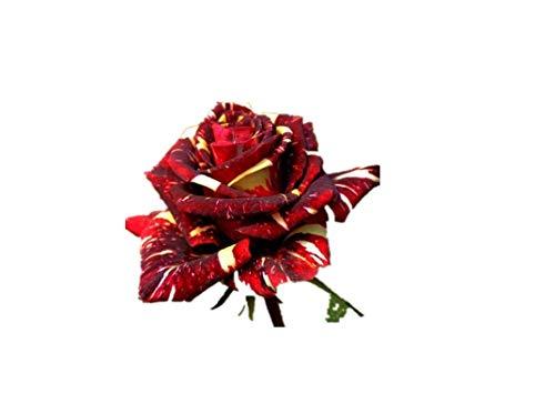 KINGDUO 30Pcs Meteoric Dusche Rose Seeds Abracadabra Seeds Flower Bonsai DIY Home Garden Dec - Thymian Dusche