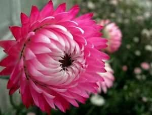 Indian Gardening Pink Double Strawflower Helichrysum Flower Seeds 20 Seeds