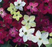 Just Seed Blume Nicotiana Sensation gemischt 2500 Samen