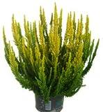 Calluna 'Skyline'- Besenheide, Heidekraut 13 cm Topf - winterhart, mehrjährig, immergrün, sieht das ganze Jahr schön aus. Als Balkonpflanze und Beetpflanze,