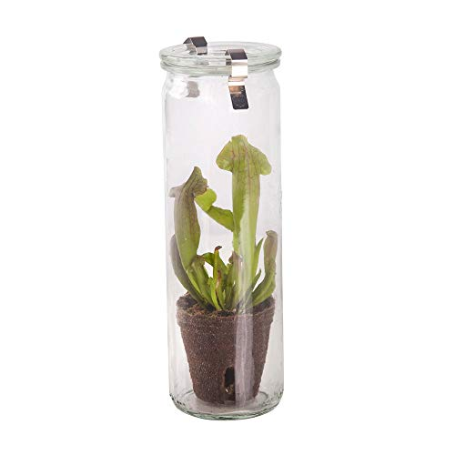 BOTANICLY | Planta lodo – Swampworld Glass - planta